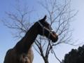 春を待つ桜の木と愛馬。