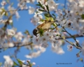 Cherry Blossoms and Sparrow.
