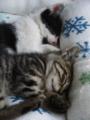 安心して寝る兄弟の子猫たち。