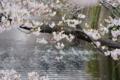大好きなお花見スポット。目黒川。