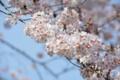 午前中の青空。上野公園の桜。