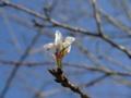 今日も咲いている桜に出会った。