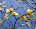 小さな春の香り