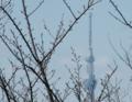 春を待っている桜の木