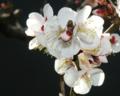 遠い春の香り