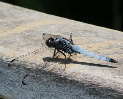 塩辛蜻蛉、故郷の言葉で「水のお嬢さん」