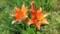 亡き父が植えた百合は今年も綺麗に咲いた!