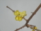 今日の蝋梅の花