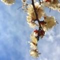 梅の甘い香り!一歩ずつ春が近づく