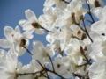 満開の木蓮の花