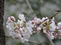 待ち遠しかった桜が開花!