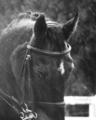 愛馬の雨のポートレート