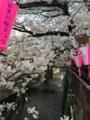 大好きな目黒川で花見!