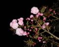 大好きな八重桜が咲きました!