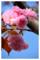 大好きな八重桜