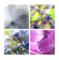 紫陽花の真花