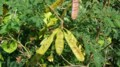 マメ科の木