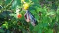 [HF]蝶々