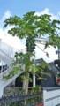 [HF]パパイヤの木