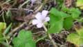 [HF]花-ムラサキカタバミ
