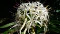 [HF]ハマユウ、ハマオモトの花