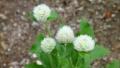 小さな白い丸い花