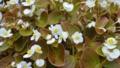 白い小さな花々