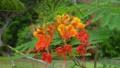 マメ科の赤い花