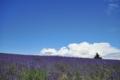 Lavenders hill Flower garden. Blue on the purple. White a little bit. 北海道上川郡美瑛