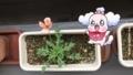 ベランダのナガミヒナゲシ、開花