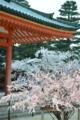 『京都新聞写真コンテスト おみくじの木と桜の木』