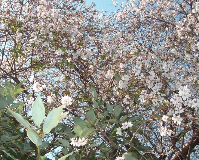 2008/10/28撮影の桜。毎年狂い咲き。