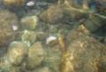 [picture]中津川の小魚