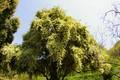 トキワマンサクの木と花