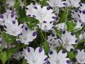 ネモフィラ・マクラータ(Nemophila maculata)