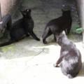 黒ネコ三連星