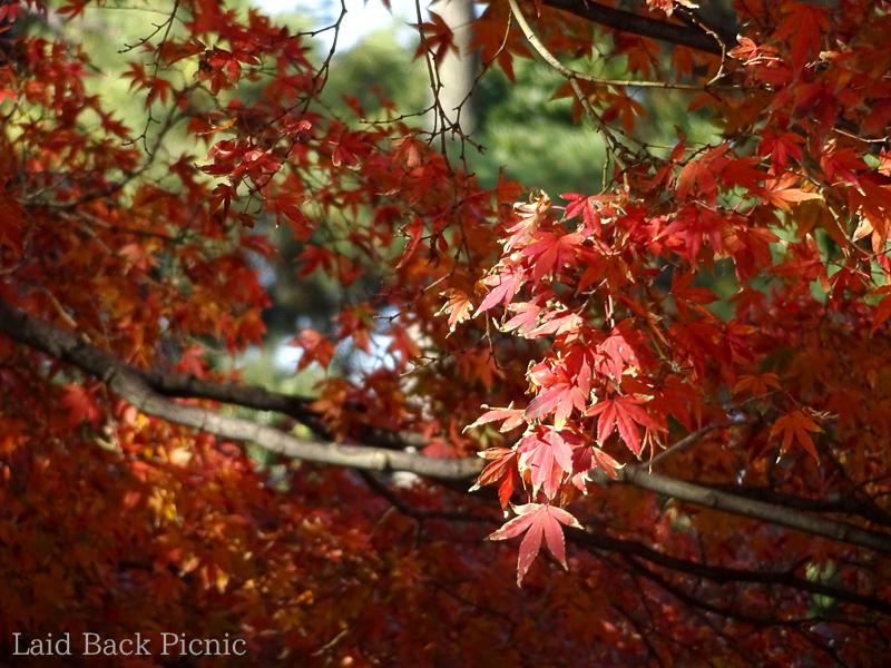 モミジは赤い葉ばかり