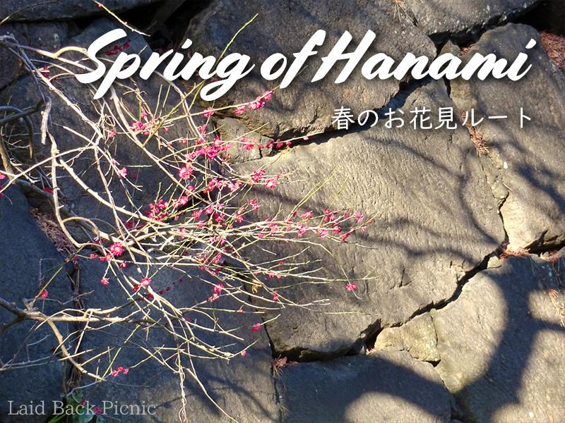 石垣の前に咲く紅梅 / plum blossom