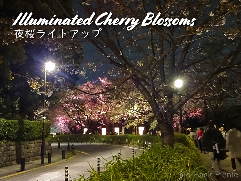 Illuminated Cherry Blossoms