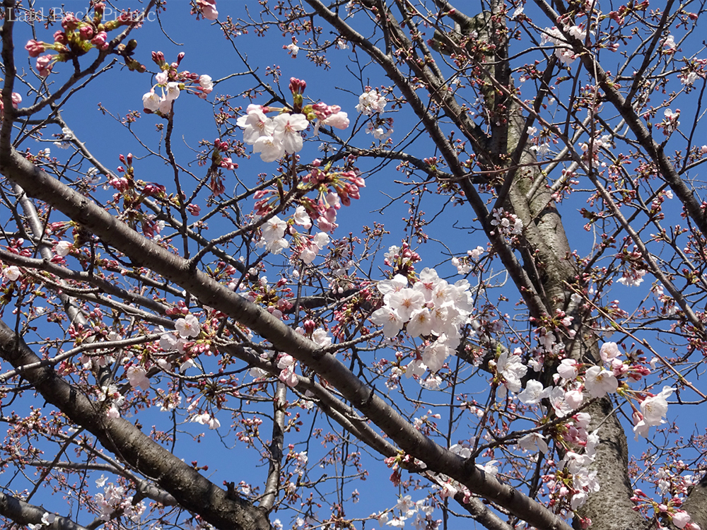 Cherry blossoms that have begun to bloom with blue sky
