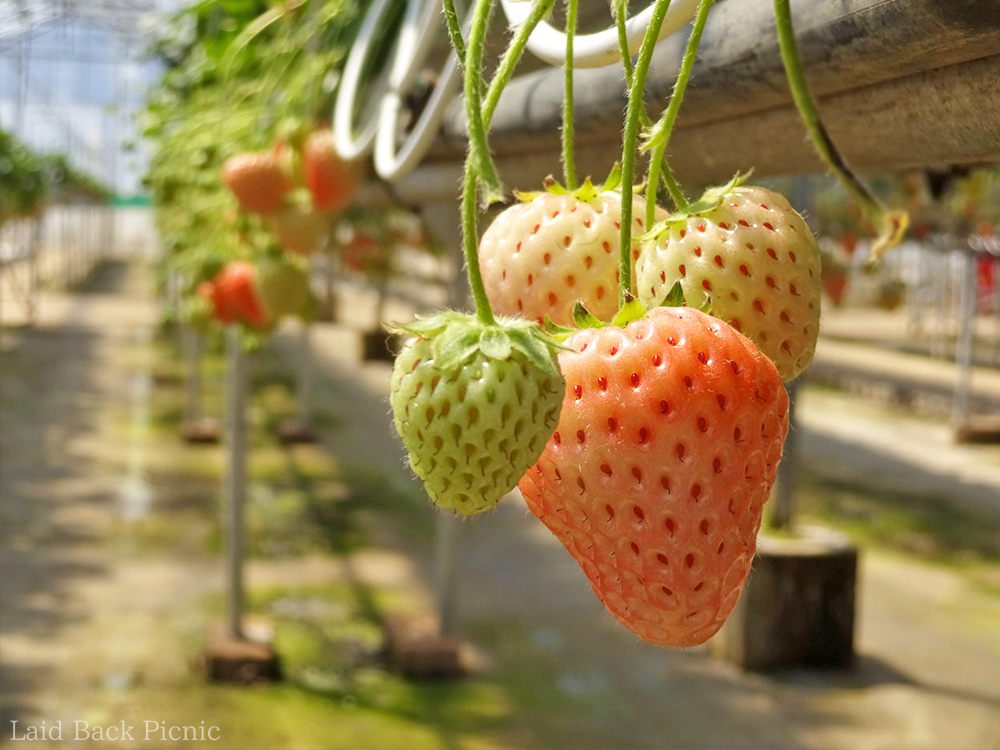 White strawberry is slightly pink