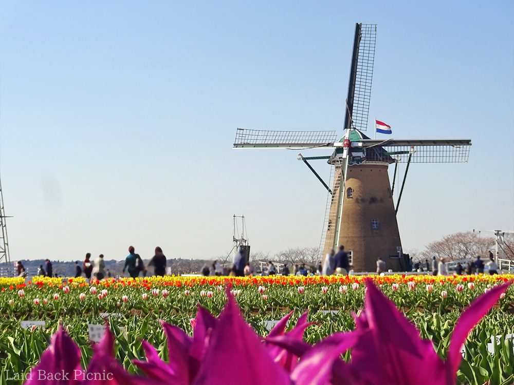 Tulip and windmill