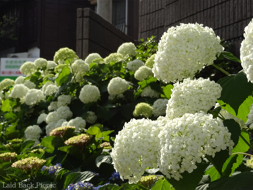 Hydrangea near torii is full bloom.