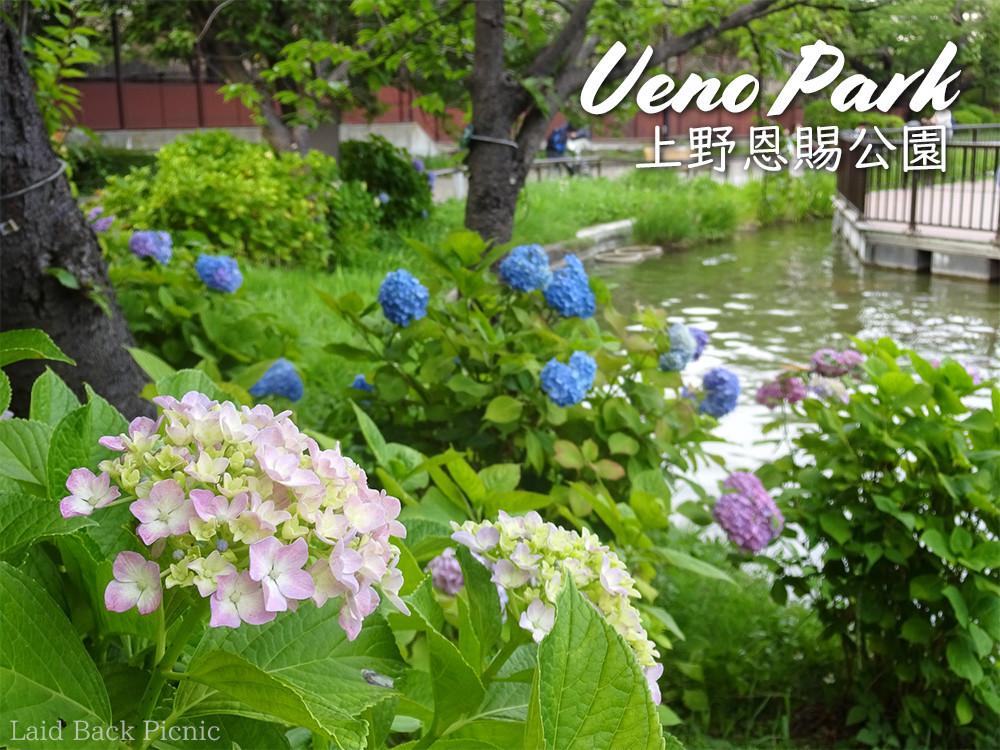 上野公園のアジサイは咲き始め