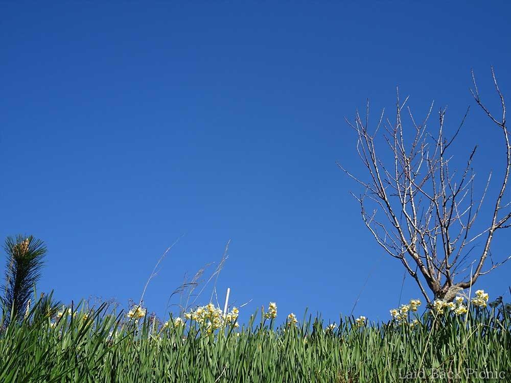 高いところに咲く水仙は空と一緒に写せる