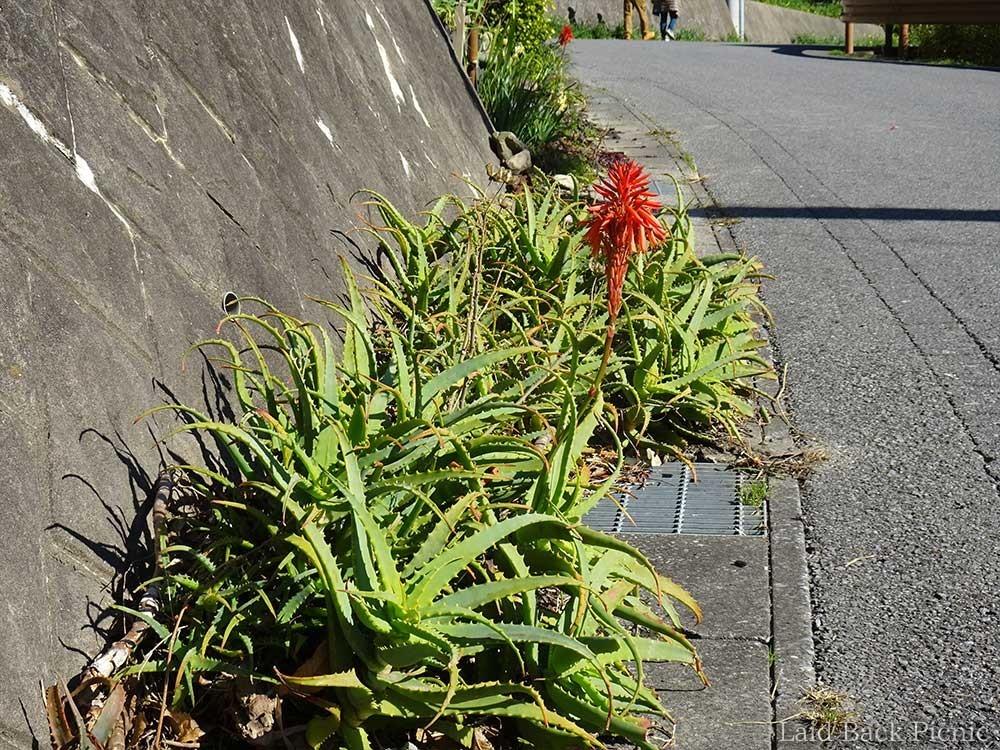 真っ赤な花がにょきっと咲く
