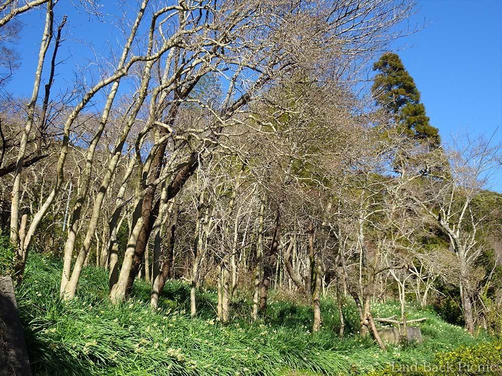木の種類は分からないけど、人の手で植えられている