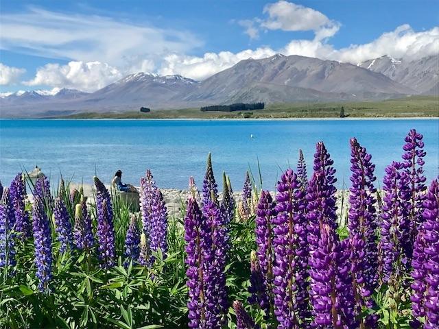 テカポ湖とルピナスの花