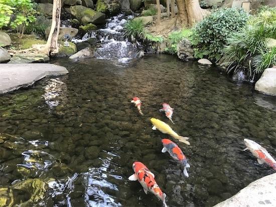 八芳園の庭園(池の鯉)