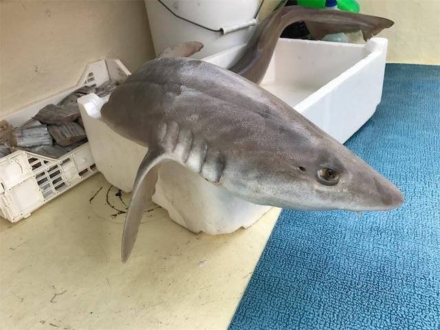 朝穫れのサメ